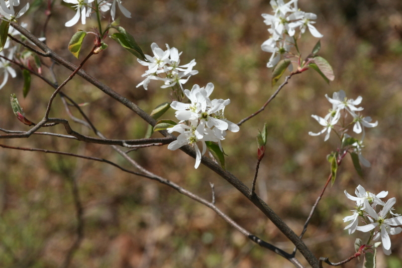 Amelanchier spicata, dwarf serviceberry, in bog