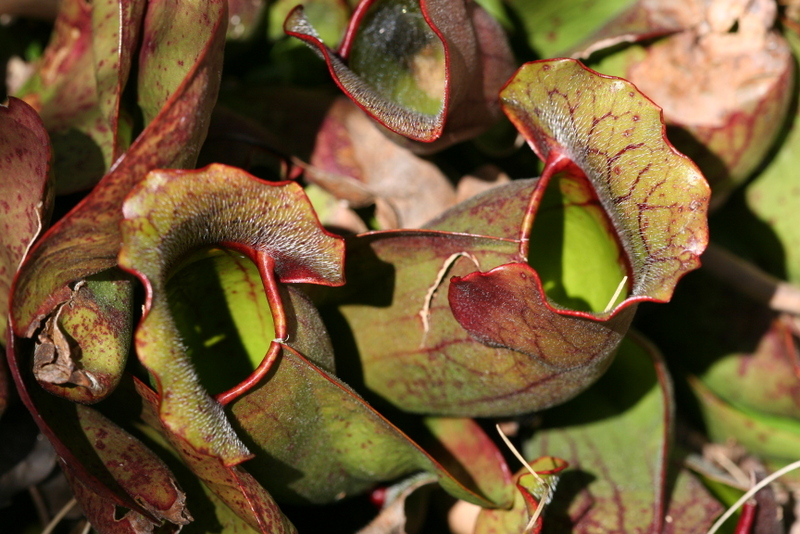 Sarracenia purpurea, purple pitcher plant