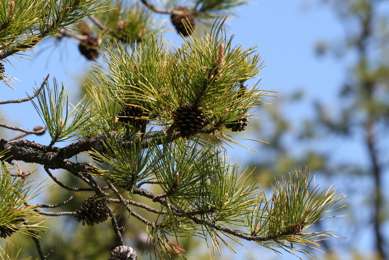 Pinus rigida, pitch pine