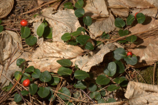 Mitchella repens, Partridge Berry