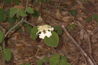 Viburnum lantanoides, Hobblebush