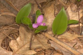 Polygala paucifolia, Fringed Milkwort.  Maianthemum canadense, Canada Mayflower, in the background.