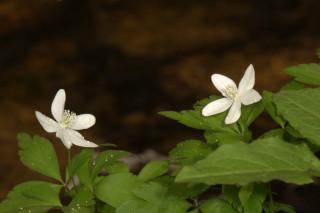 Anemone quinquefolia, Wood Anemone