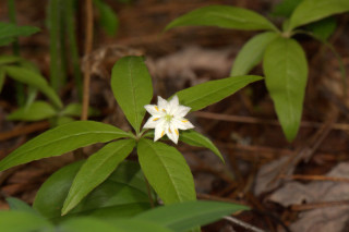 Lysimachia borealis, Starflower