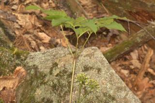 Aralia nudicaulis, Wild Sarsaparilla