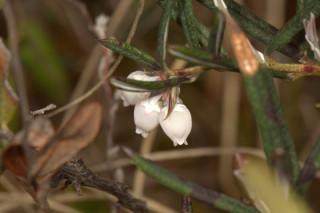 Andromeda polifolia, Bog Rosemary