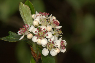 Aronia floribunda, Purple Chokeberry