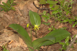 Clintonia borealis, Yellow Blue Bead Lily