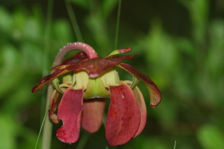 Close up of flower of Sarracenia purpurea, Purple Pitcher Plant